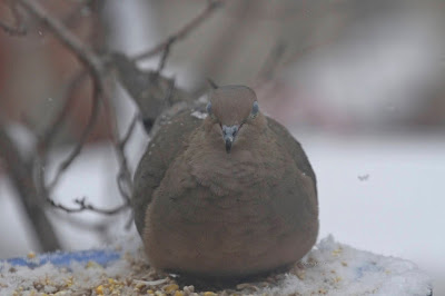 "This picture is the second of three atop this entry that features a Mourning dove sitting atop of snow.  Many snowflakes have landed on his back. This bird type is featured in my three volume book series, ""Words In Our Beak."" Info re the books can be found in another post on this blog @ https://www.thelastleafgardener.com/2018/10/one-sheet-book-series-info.html"