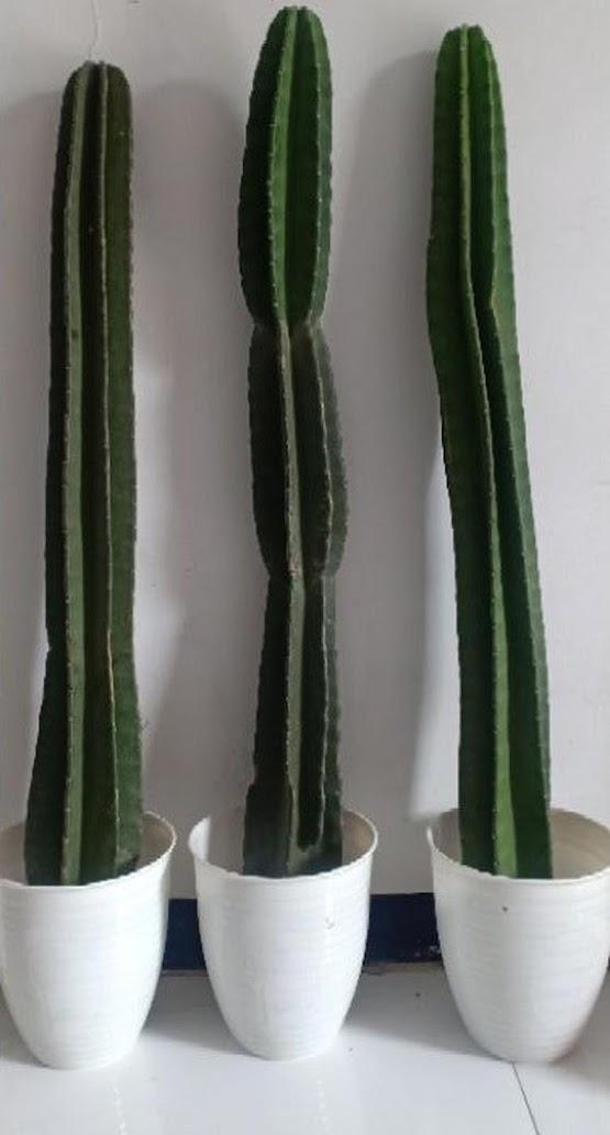 Kaktus Koboy Kaktus Belimbing MURAH 1METER UP Binjai