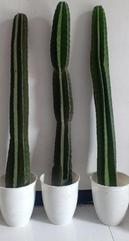 Kaktus Koboy Kaktus Belimbing MURAH 1METER UP Tidore Kepulauan