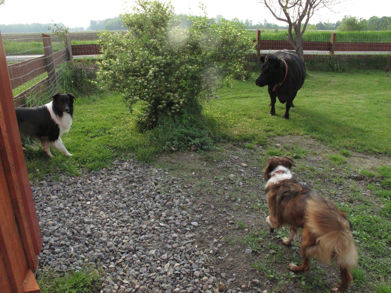 Danish Swedish Farmdog |Small Dogs Farm