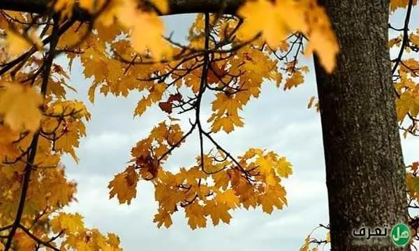 شجرة القيقب