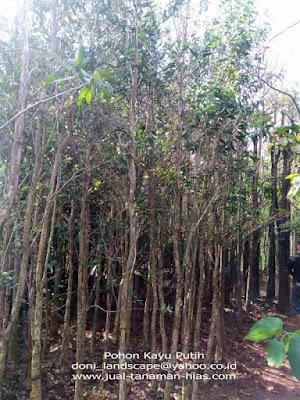 Jual Pohon Kayu Putih | Tanaman Kayu Putih Berkwalitas