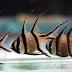 Keluarga Banggai, Ikan Endemik Sulawesi yang Terancam Punah