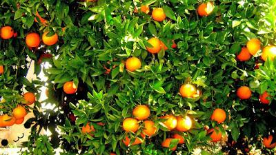 Tanaman buah jeruk manis