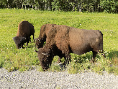 Bison are Grazers; Eating Grasses and Sedges