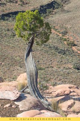 Juniper Tree on Canyonlands 19