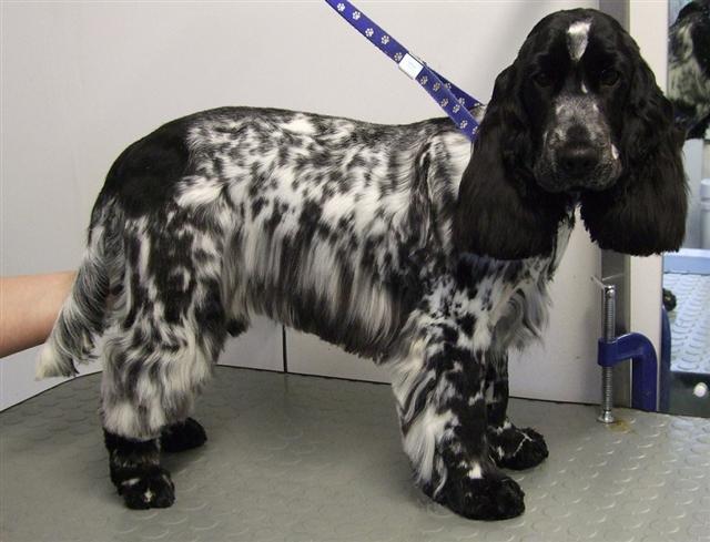 Cocker Spaniel - Breed Profile   Australian Dog Lover