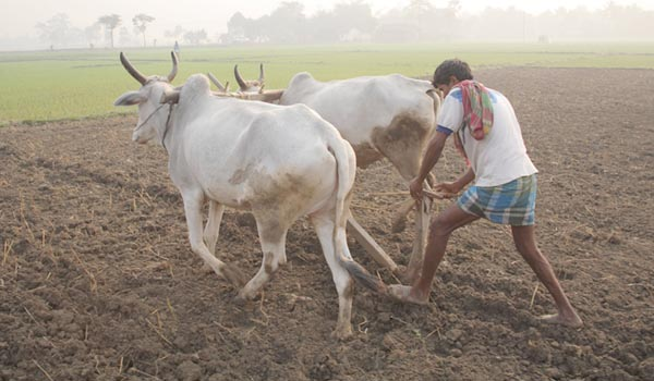 farmer-ploughing-in-field-india