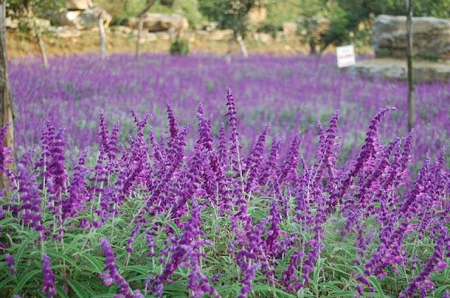 Lavender harvest season in Lao Cai 6