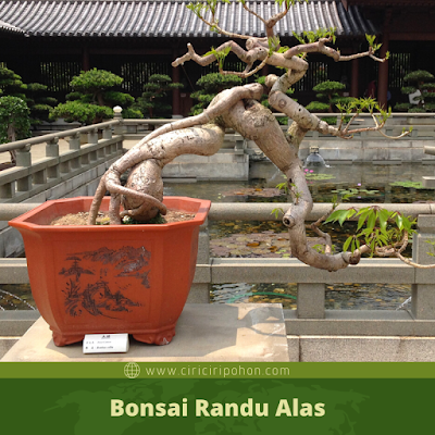 Bonsai Randu Alas