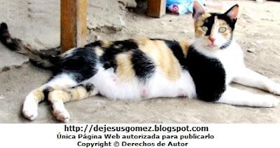 Foto de una gata preñada mostrando sus tetitas. Foto de gata de Jesus Gómez