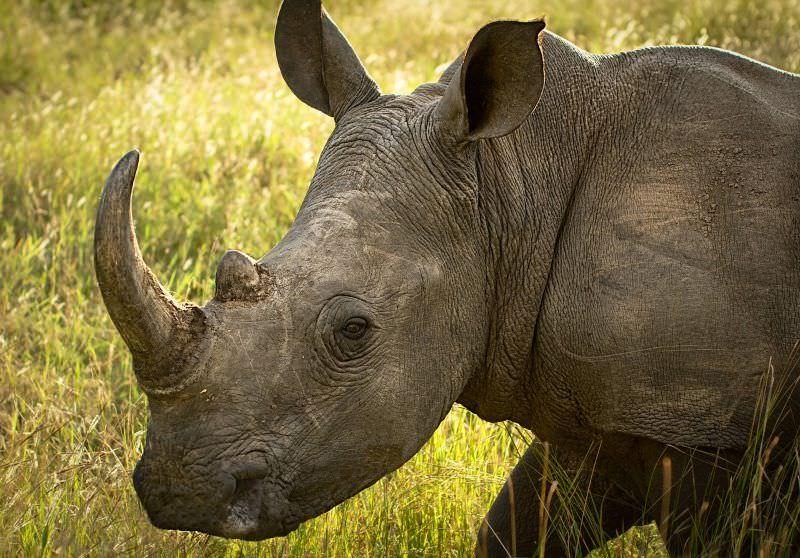 Rinoceronte juvenil