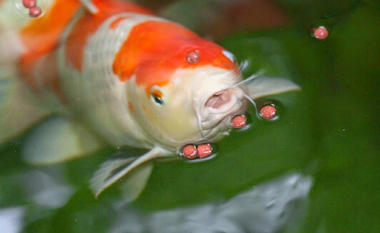 Djoglo Fish Jenis Makanan Ikan Koi Dan Waktu Pemberiannya