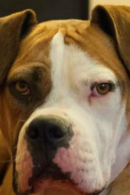 Boxmas (Boxer Mastiff mix) Temperament, Size, Lifespan, Adoption