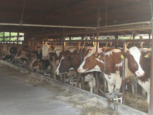 Стигле краве са паше, све је спремно за мужу
