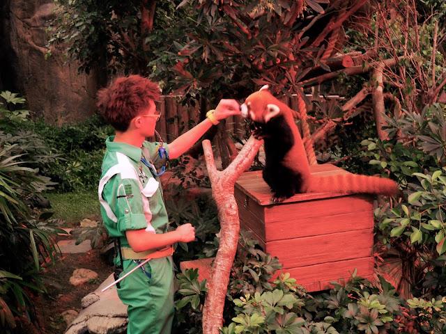 Red panda feeding in Ocean Park