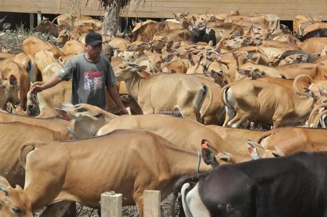 DPKP Kaltara Pastikan Persediaan Daging Sapi dan Ayam Aman
