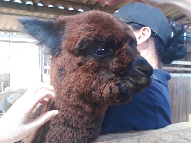Baby alpaca / Cria