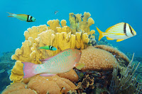 Caribbean reefs were perfect for studying how limiting the catch of seaweed-eating fish could help coral reefs recover. (Photograph Credit: Alamy) Click to Enlarge.