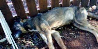 Iretama: Covardia com os animais. Cachorros morreram envenenados