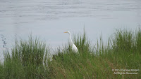 Great egret on the edge of Long Island Sound, Stratford, CT - photo by Denise Motard