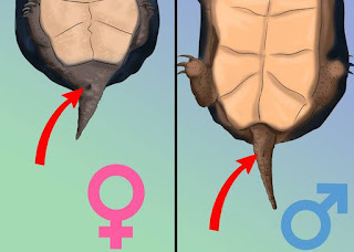 How to know whether a turtle is a male or female 3