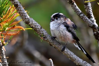 Mito - Aegithalos Caudatus (fotografia-de-naturaleza.blogspot.com)