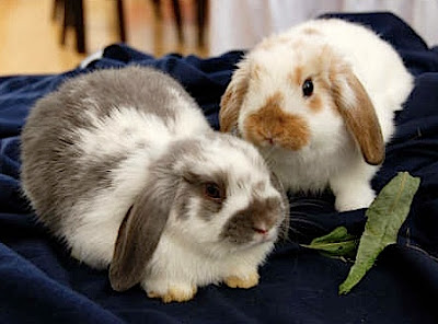 Two Patches Holland Lop Rabbits
