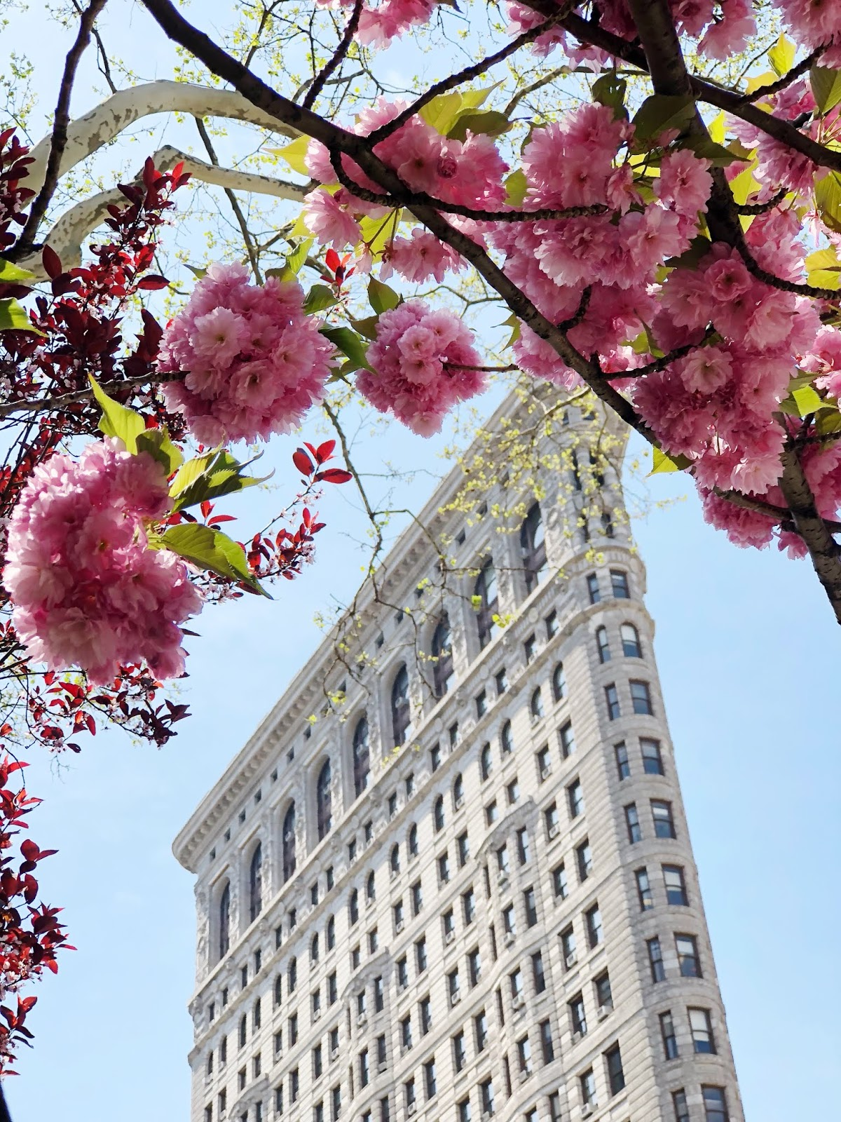 Flatiron Building surrounded by Cherry Blossoms - New York City Spring 2018