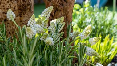 10 plantas bulbosas que favorecen la biodiversidad en el jardín al final del invierno y en primavera