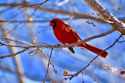 Cardinal Bird Photo by Brendan Steeves on Unsplash