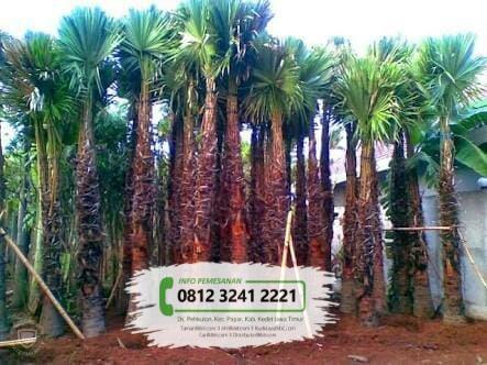 Jual Bibit Pohon Palem Sadeng / Sedang