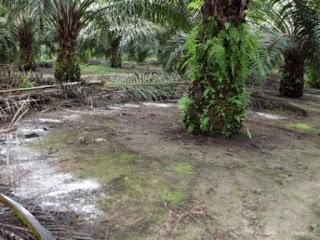 Zeolite as Soil Supplement for Palms Trees
