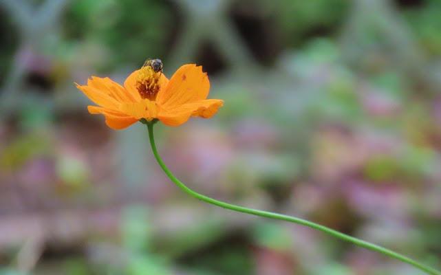 首が長~く伸びたキバナコスモスと蜜を貪るハチ