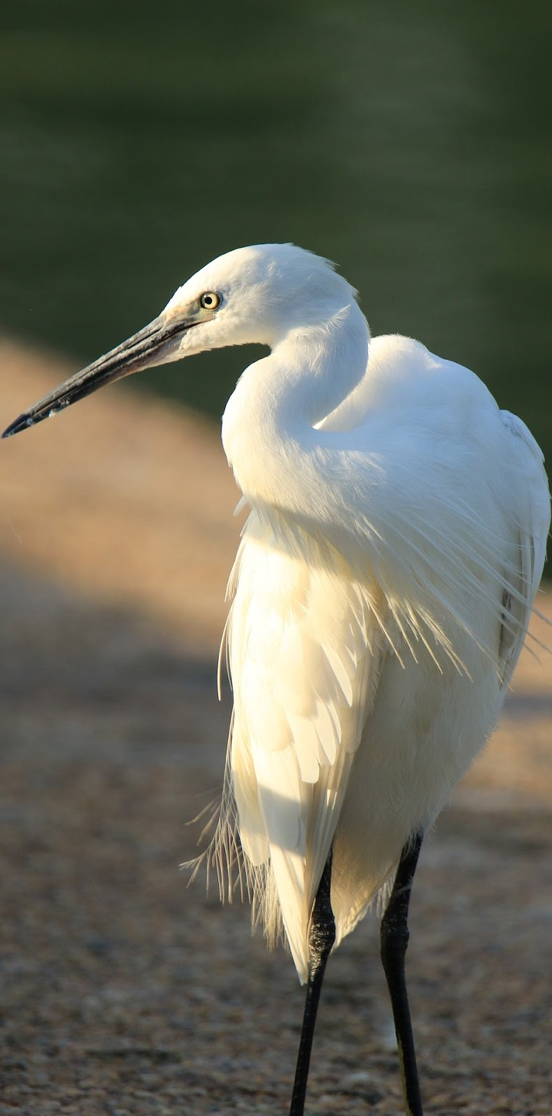 Photo of a little egret.