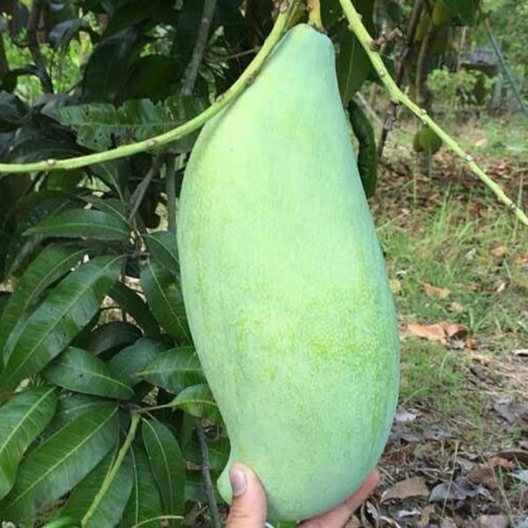 bibit buah mangga mahatir okulasi cepat berbuah Subulussalam