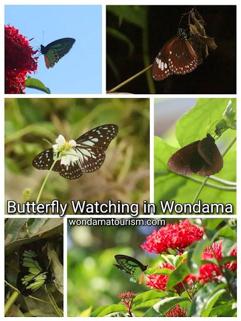 pengamatan kupu-kupua Papua dan bunga hibiscus atau kembang sepatu