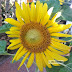 Sunflower blooming day