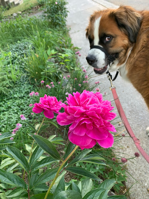 What would your dog's online dating profile say? Saint Bernese