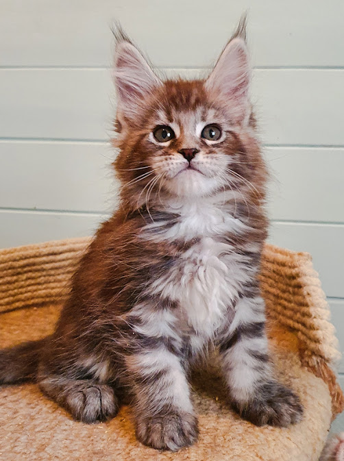 Silver blotched tabby Maine Coon kitten made in Russia