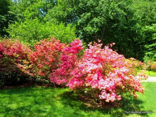 Azaleas at Winterthur