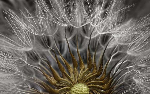 Hạt giống hoa cúc bạc trưởng thành, tác phẩm đến từ Israel, xếp thứ 2 chung cuộc