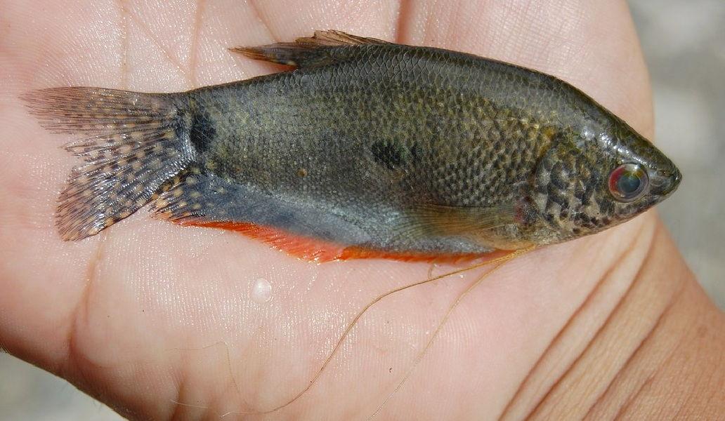 Gambar Ikan Sepat