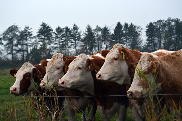 Negara Penghasil Daging Sapi