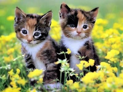 Kucing - Binatang Bersih, Comel dan Manja