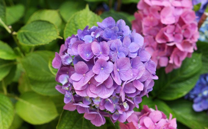 hortenzija-vrt-cvijeće