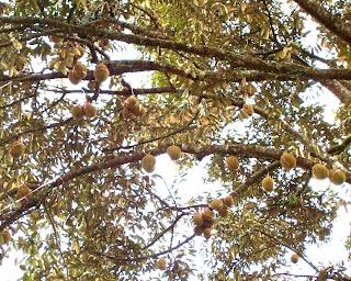 Durian Menoreh Raja Buah Jogja - Jual Bibit tlp/wa: 0812-1560-7921, kenapa durian disebut raja buah, raja buah adalah, raja dari segala buah, MSTech Organic Farm