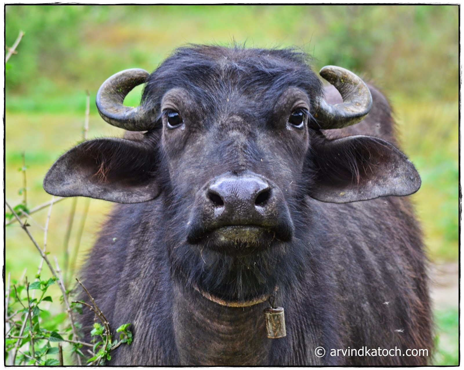 Indian Buffalo, Slient, Still, Buffalo