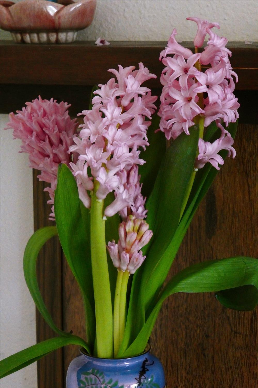 hyacinths, pink hyacinths, spring hyacinths, fragrant hyacinths