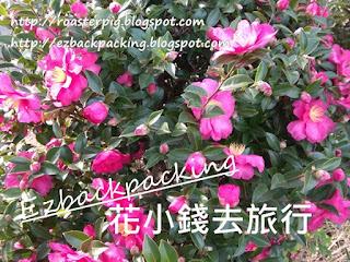 濟州巿區山茶花